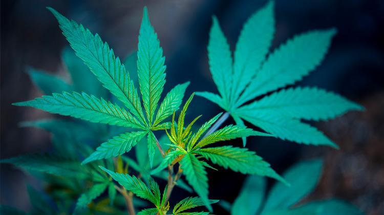 Légalisation du cannabis : OUI